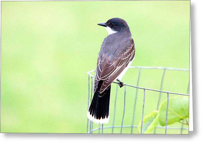 Eastern Kingbird Looking For Food 2 Greeting Card by Roy Williams