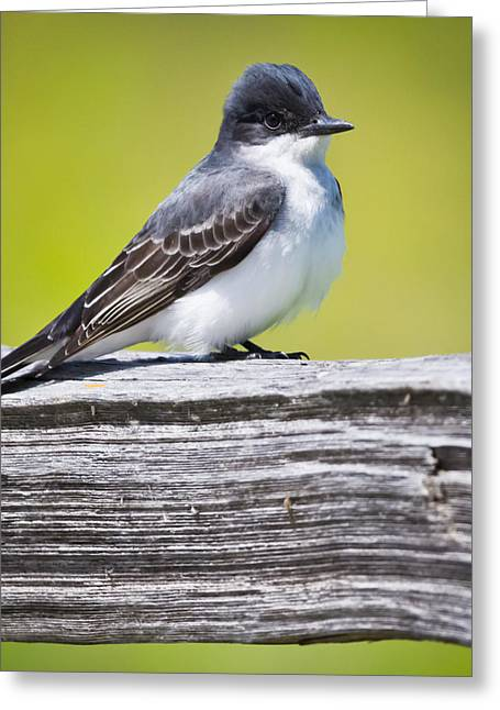 Eastern Kingbird Greeting Card by Ricky L Jones