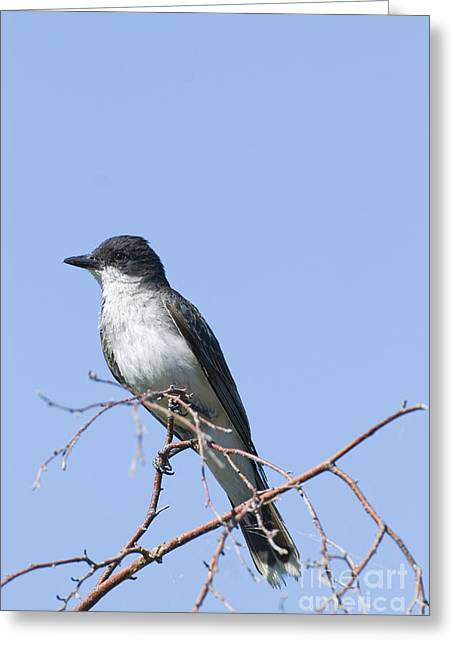 Eastern Kingbird Greeting Card by William H. Mullins