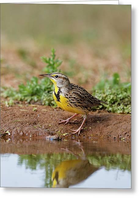 Eastern Meadowlark (sturnella Magna Greeting Card