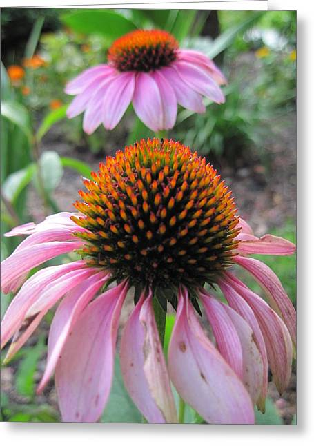 Eastern Purple Coneflower Greeting Card by Vicki Kennedy