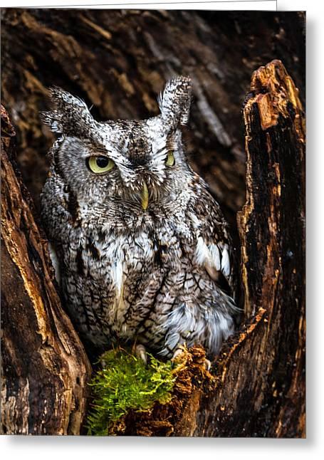 Eastern Screech Owl Greeting Card by Craig Brown