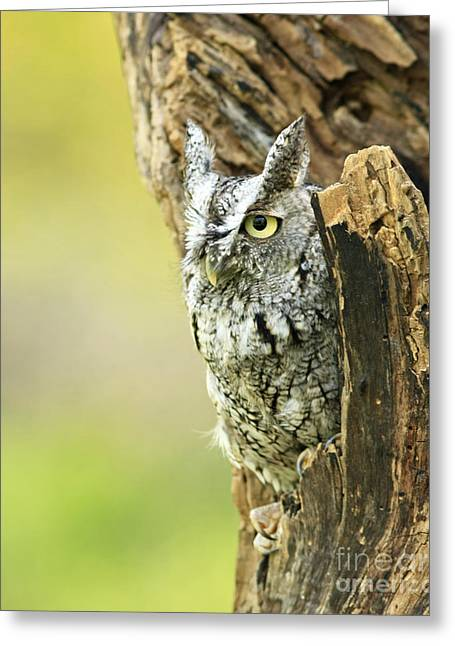Eastern Screech Owl Hiding Out In A Hollow Tree Greeting Card by Inspired Nature Photography Fine Art Photography