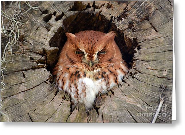 Eastern Screech Owl Greeting Card