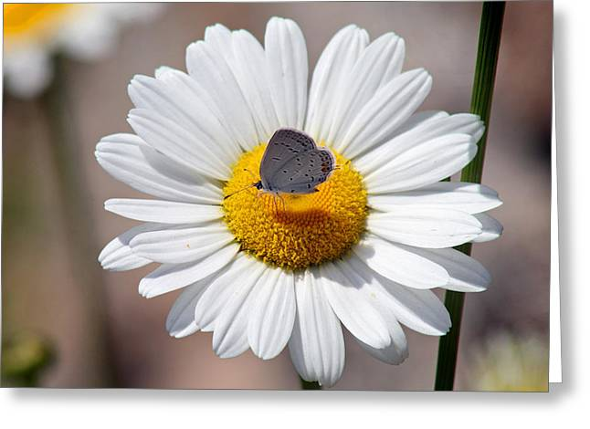 Eastern Tailed Blue Butterfly On Daisy Greeting Card