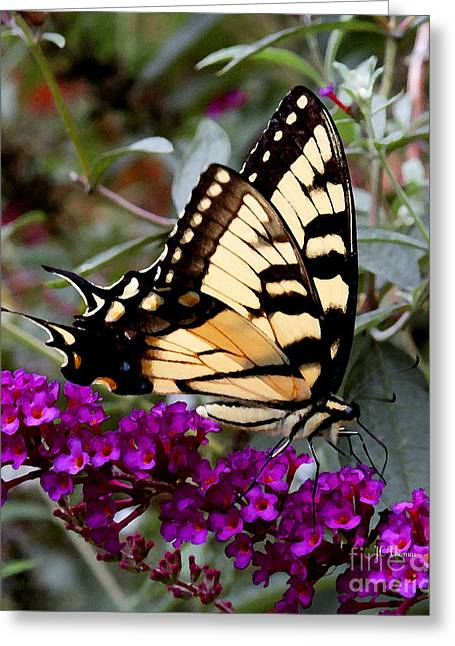 Eastern Tiger Butterfly Greeting Card