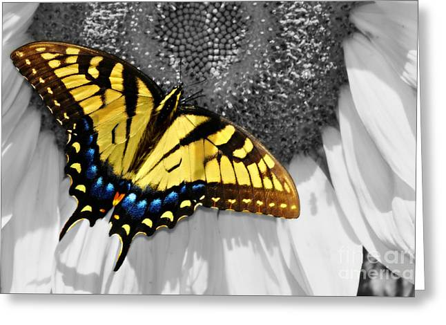 Eastern Tiger Swallow Tail  Greeting Card