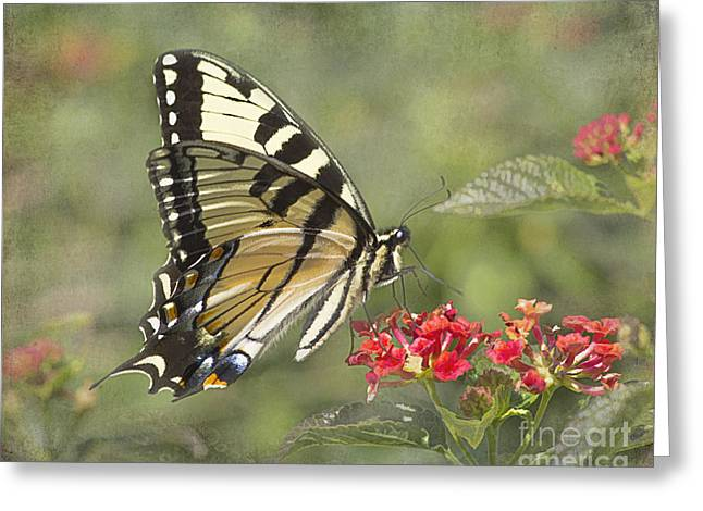Eastern Tiger Swallowtail Beauty Greeting Card by TN Fairey