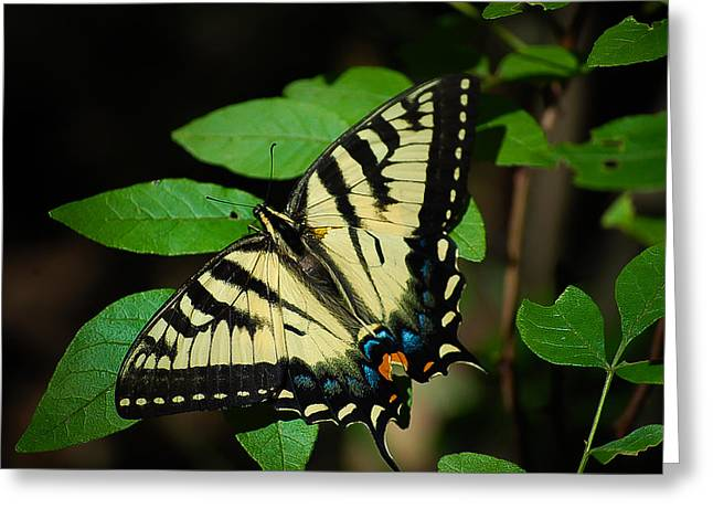 Eastern Tiger Swallowtail Greeting Card by Bianca Nadeau