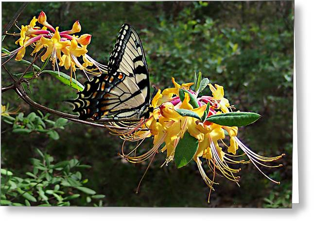 Greeting Card featuring the photograph Eastern Tiger Swallowtail Butterfly by William Tanneberger