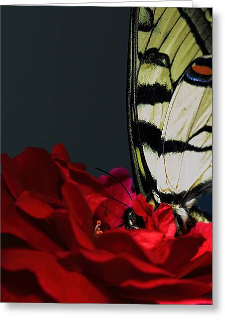 Eastern Tiger Swallowtail Greeting Card by Cody Arnold
