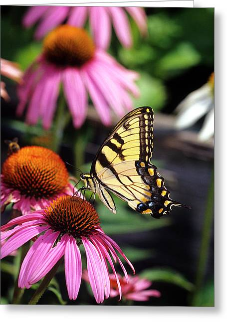 Eastern Tiger Swallowtail (papilio Greeting Card by Richard and Susan Day