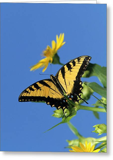 Eastern Tiger Swallowtails (papilio Greeting Card by Richard and Susan Day