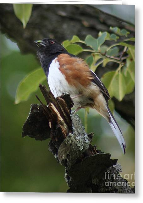 Greeting Card featuring the photograph Eastern Towhee by Anita Oakley