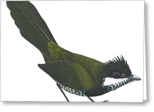 Eastern Whipbird Greeting Card