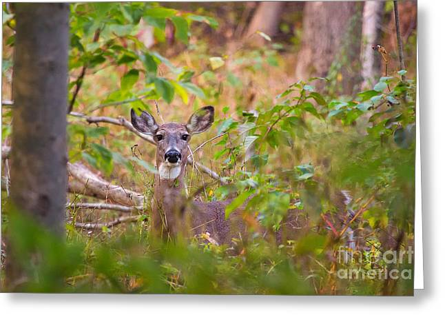 Eastern Whitetail Deer Greeting Card by Michele Steffey
