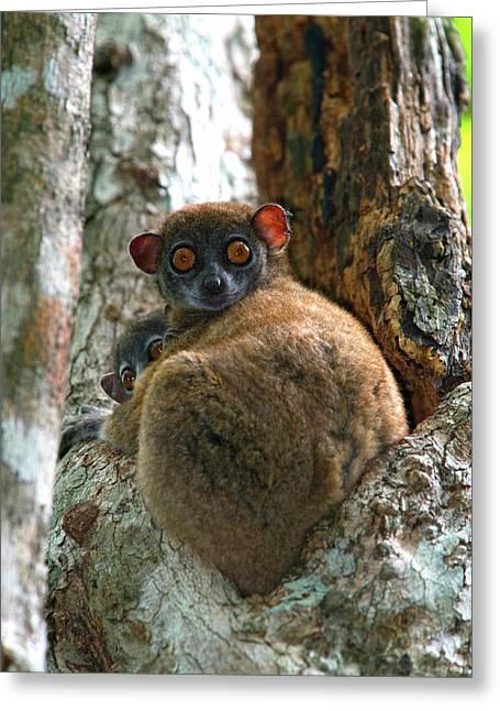 Eastern Woolly Lemur (avahi Laniger Greeting Card
