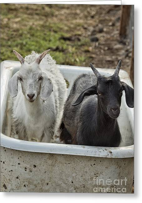 Ebony And Ivory In A Tub Greeting Card