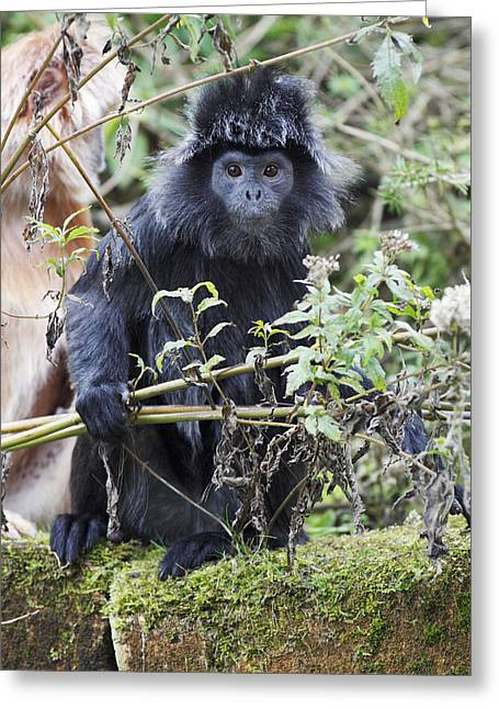 Ebony Leaf Monkey Greeting Card by Duncan Usher