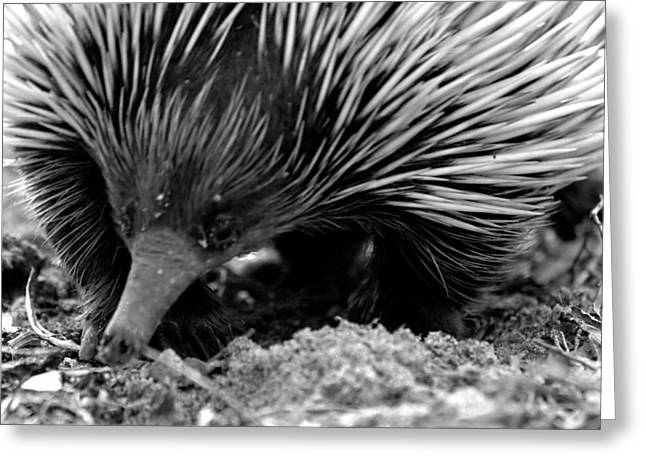Greeting Card featuring the photograph Echidna by Miroslava Jurcik