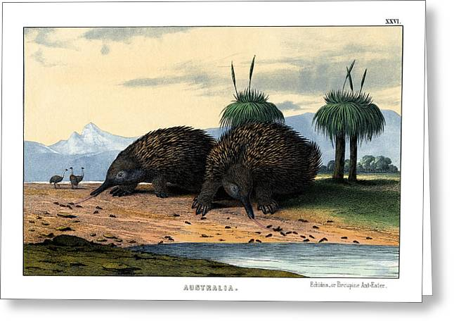 Echidna Or Porcupine Anteater Greeting Card by Splendid Art Prints