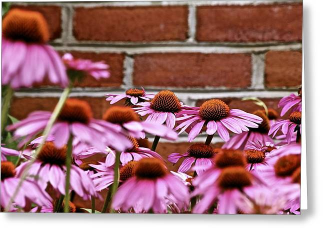 Echinacea And Brick Wall Greeting Card