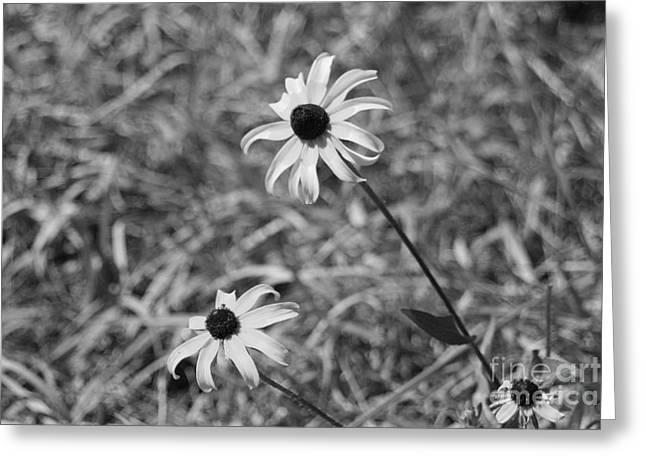 Echinacea Greeting Card by Barbara Bardzik