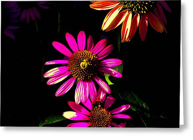 Echinacea In Hot Pink Greeting Card by Karla Ricker