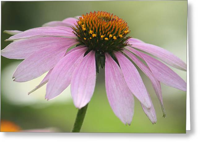 Echinacea Pink Coneflower Greeting Card