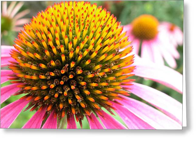 Echinacea - Purple Cone Flower Greeting Card by Rob Huntley