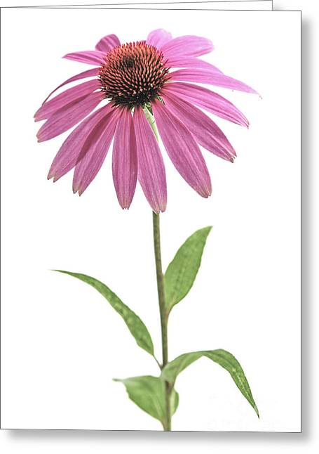 Echinacea Purpurea Flower Greeting Card by Elena Elisseeva