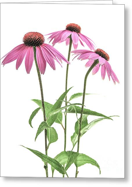 Echinacea Purpurea Flowers Greeting Card by Elena Elisseeva