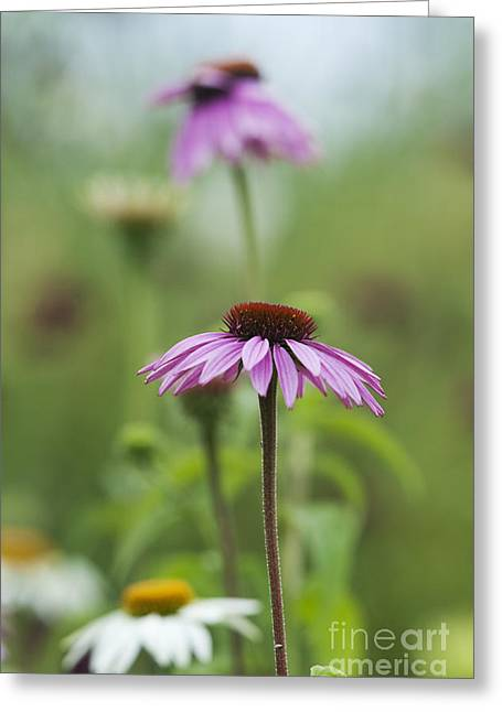 Echinacea Purpurea Magnus  Greeting Card by Tim Gainey