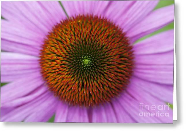 Echinacea Purpurea Rubinglow Flowers Greeting Card