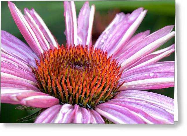 Echinacea Square Greeting Card