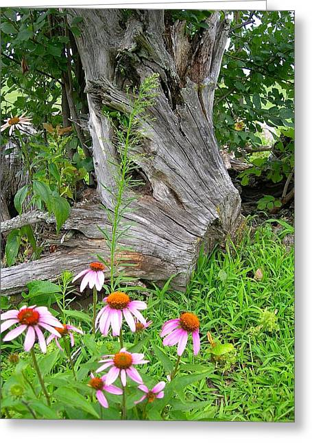 Echinacea Stumpage Greeting Card