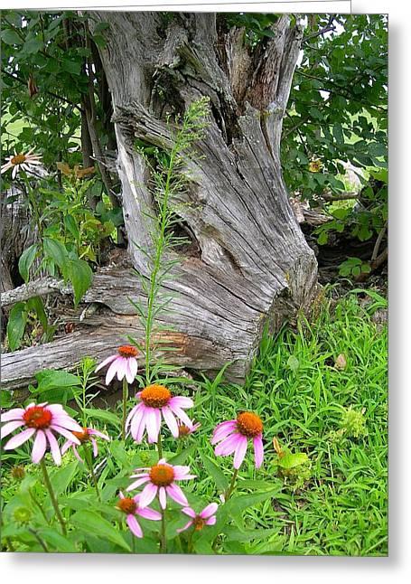 Echinacea Stumpage Greeting Card by Randy Rosenberger