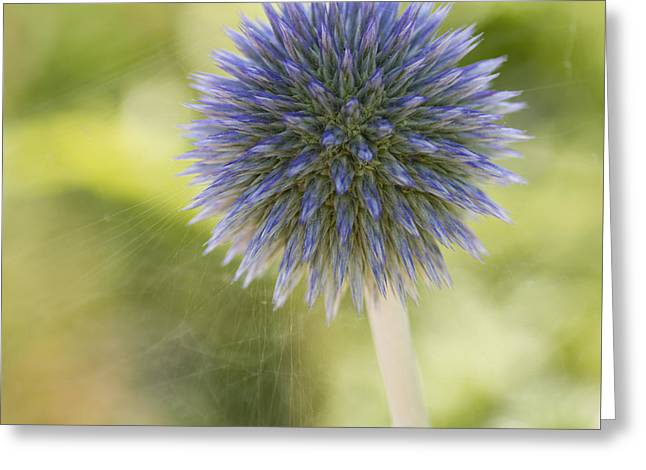 Echinops Blue Greeting Card
