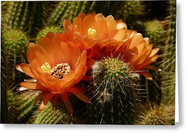 Echinopsis Huascha Cactus Trio Greeting Card