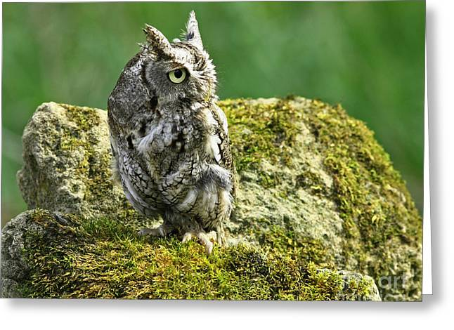 Echo Of An Eastern Screech Owl  Greeting Card by Inspired Nature Photography Fine Art Photography