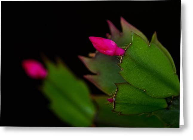 Echoing Christmas Cactus Buds Greeting Card