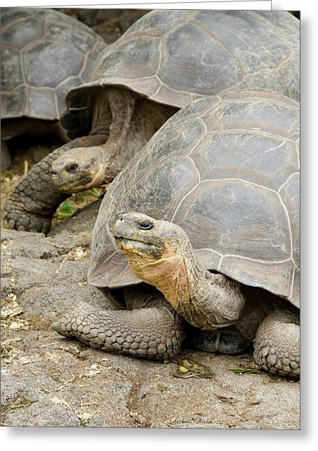 Ecuador, Galapagos, Santa Cruz Greeting Card by Cindy Miller Hopkins