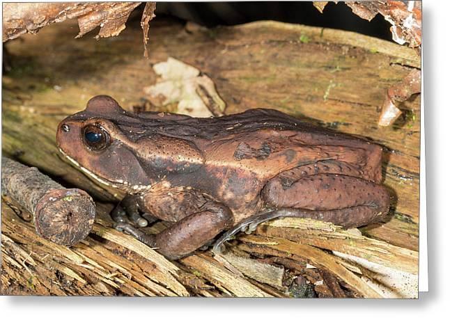 Ecuadorian Toad Greeting Card by Dr Morley Read