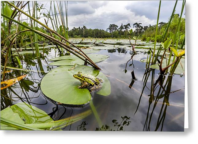 Edible Frog On Lily Pad Overijssel Greeting Card by Alex Huizinga
