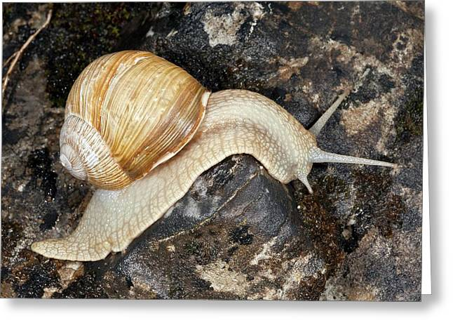 Edible Snail Greeting Card