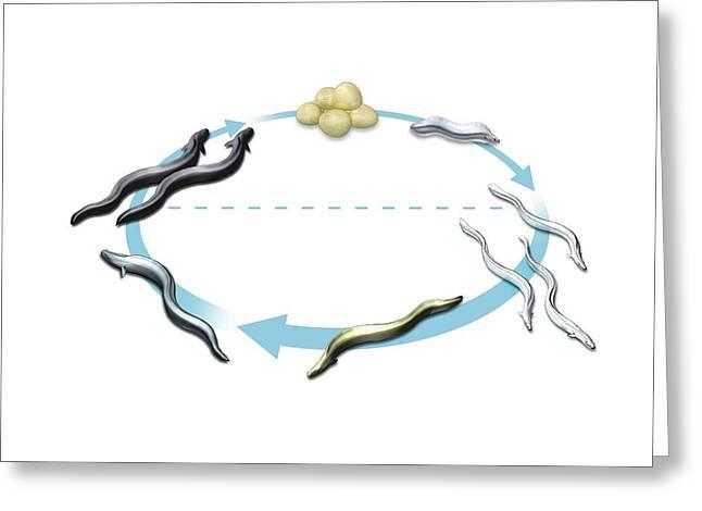 Eel Life-cycle Greeting Card by Mikkel Juul Jensen