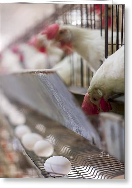 Egg Farming. Hens In A Battery Greeting Card by Science Photo Library