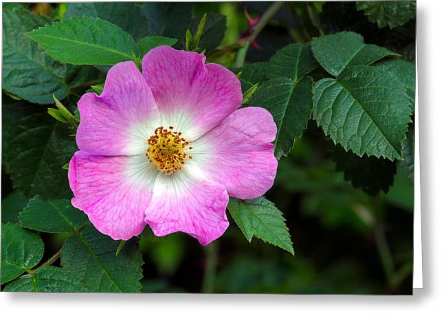 Eglantine Rose Flower Greeting Card by Michael Russell