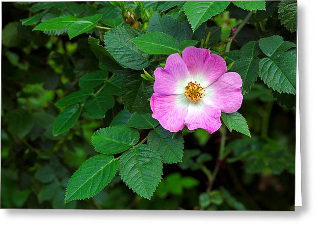 Eglantine Rose Greeting Card by Michael Russell