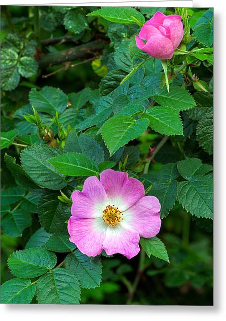 Eglantine Roses Greeting Card by Michael Russell